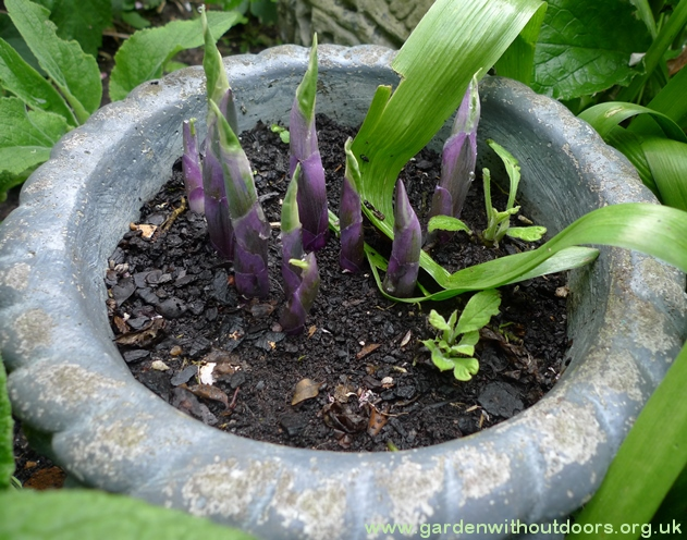 hosta purple shoots