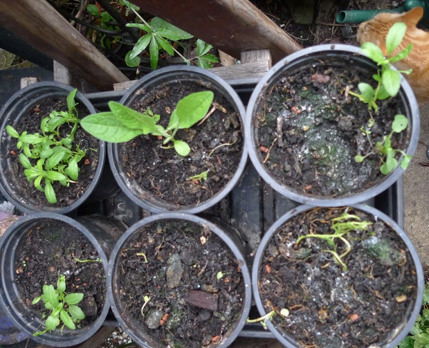 hyssop seedlings