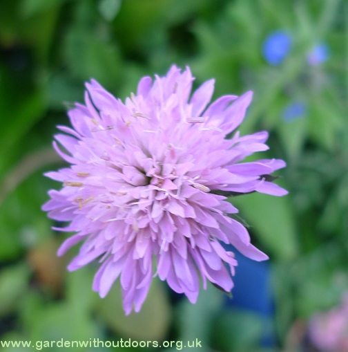 knautia macedonia
