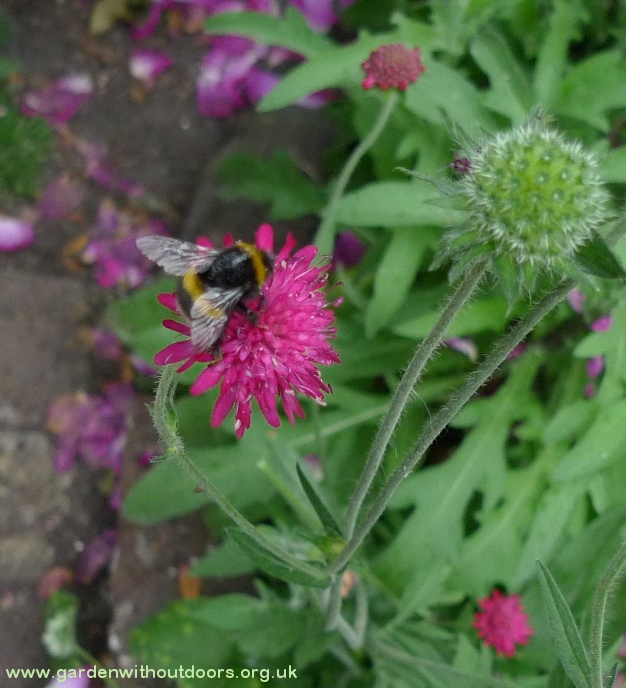 knautia macedonia with bee