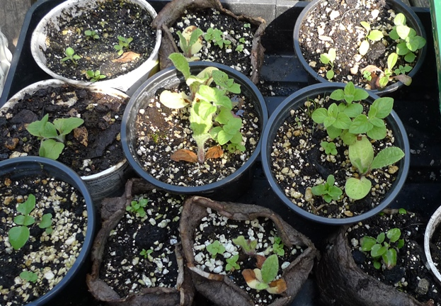 lesser calamint seedlings