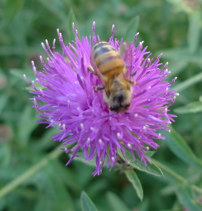 lesser knapweed with bee