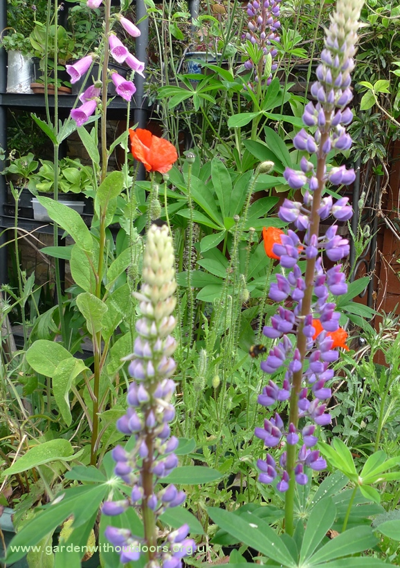 lupin with bee