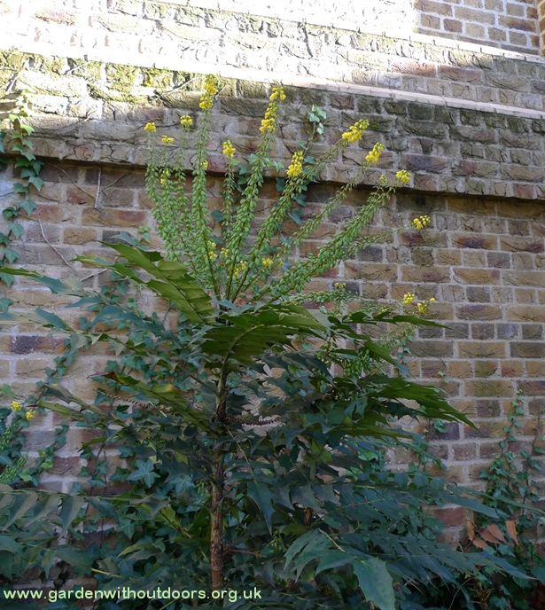 mahonia St Pancras Old Church