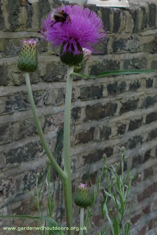 melancholy thistle with bee