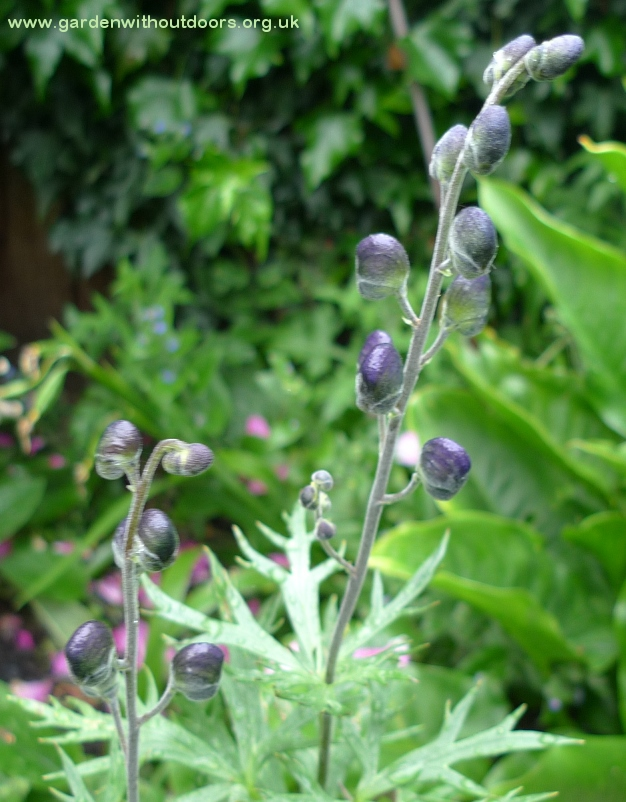 monkshood buds