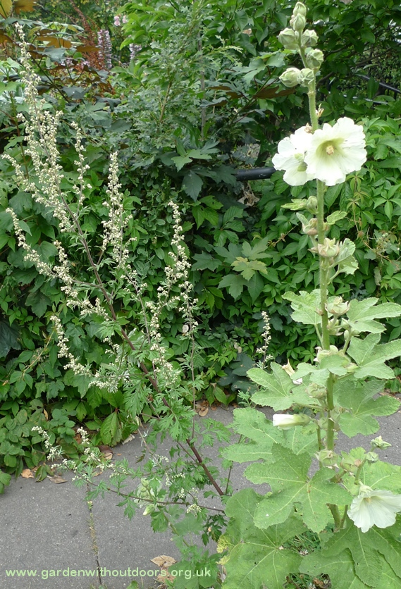 mugwort hollyhocks