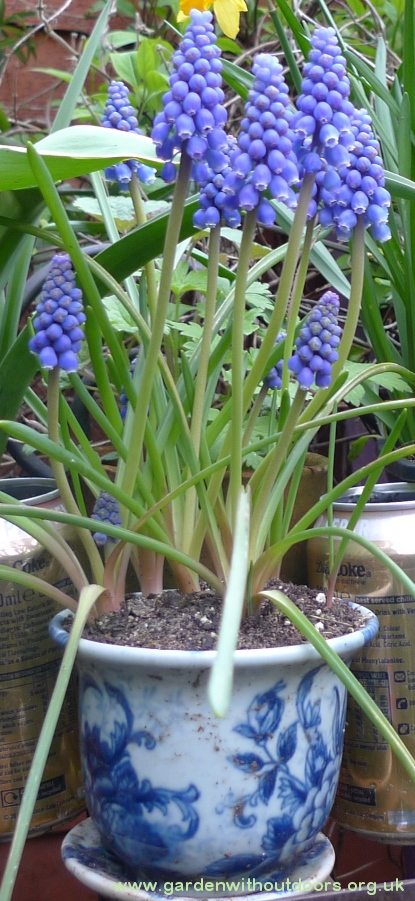 muscari in blue and white pot