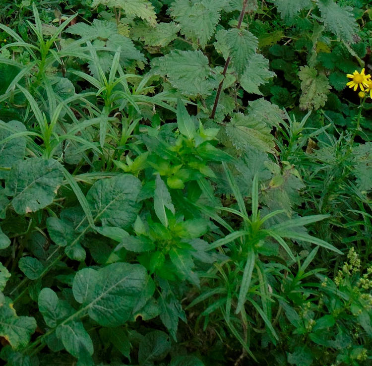 narrow-leaved ragwort