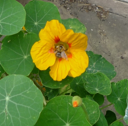 nasturtium with bee