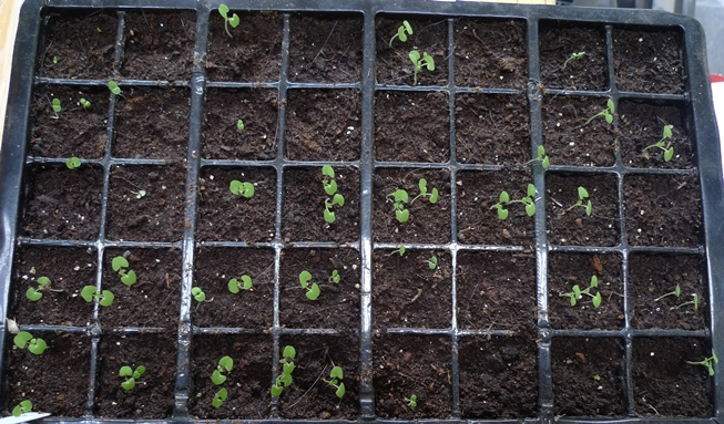 nepeta cataria seedlings