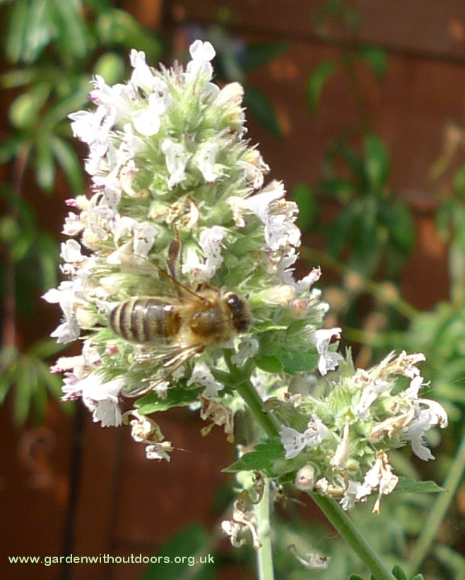 nepeta cataria with bee