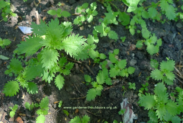 small nettle urtica arens