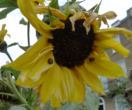 sunflower with ladybirds