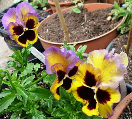 colour reversion pansies