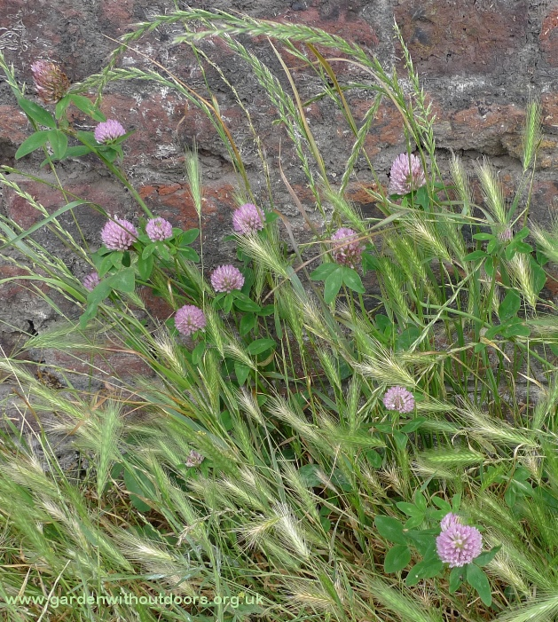 pink red clover