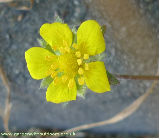 potentilla reptans flower close-up