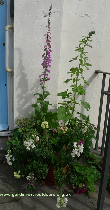 foxglove hollyhock snapdragon in pots