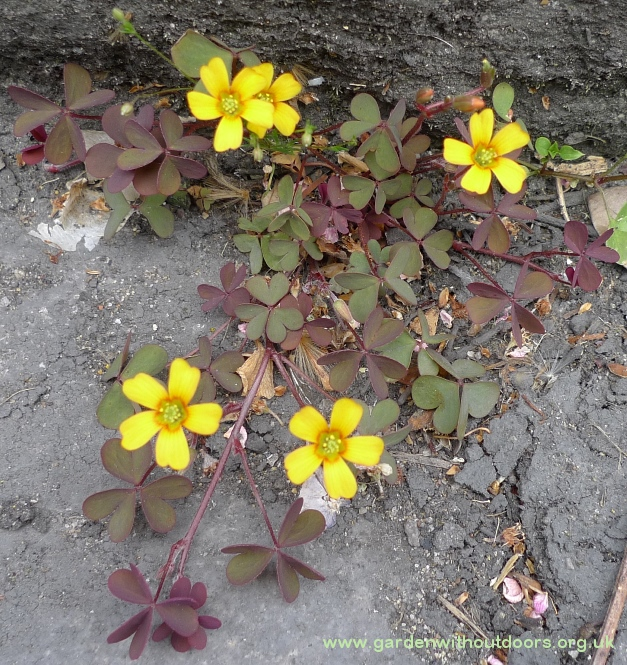 purple-leaved creeping oxalis corniculata