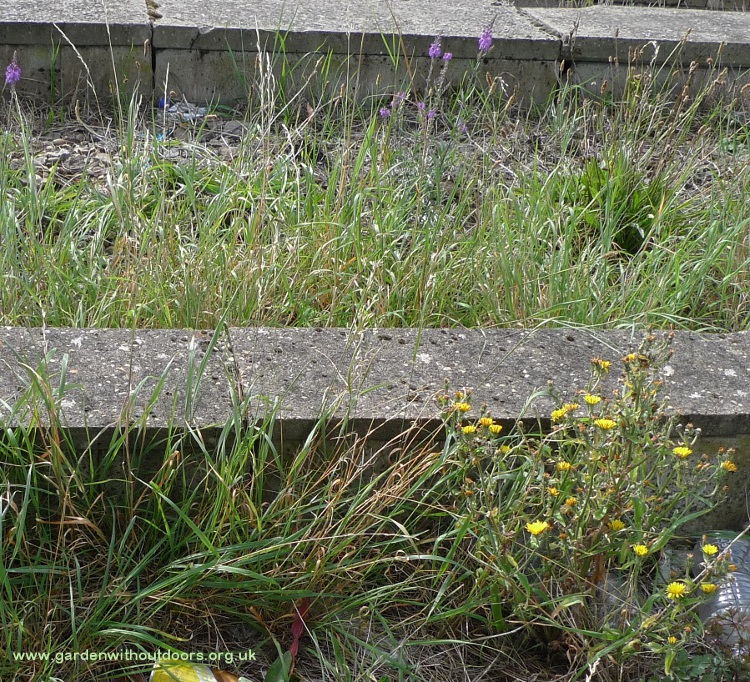 purple toadflax and hawkweed oxtongue