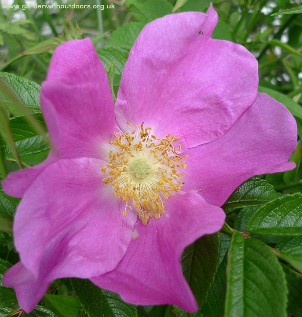 rosa rugosa flower close-up