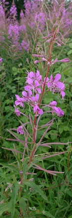 rosebay willowherb flowers