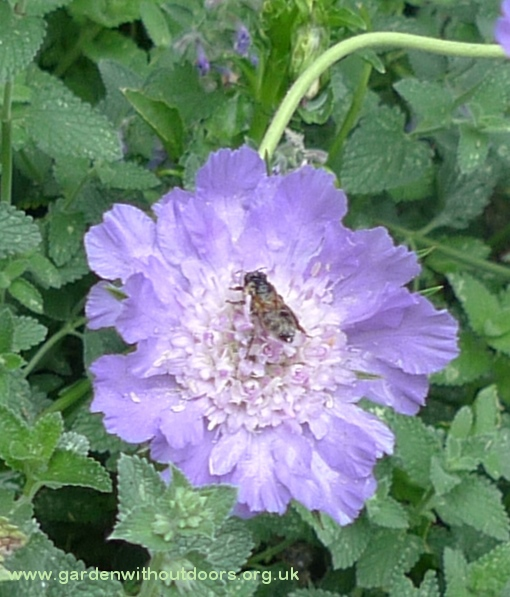 scabiosa perfection blue with bee