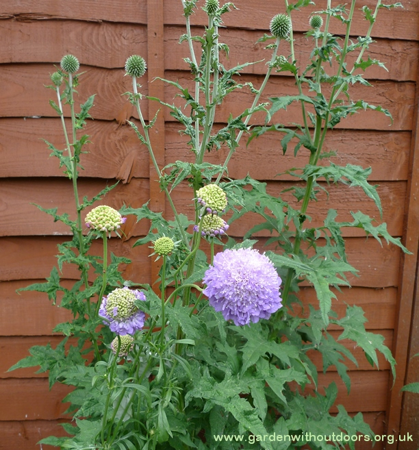 scabious blue cushion globe thistles