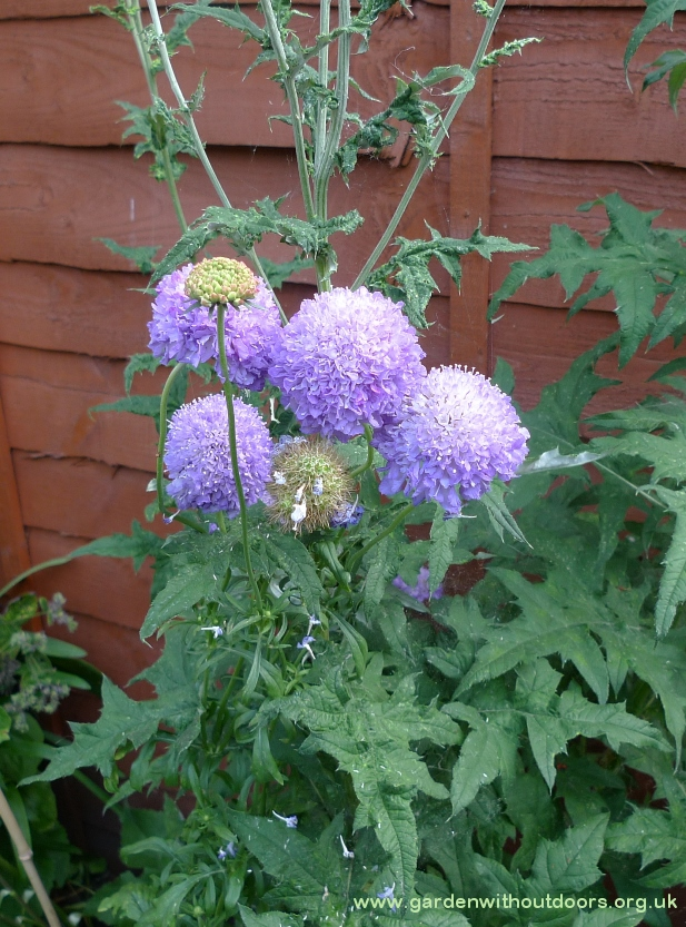 scabious blue cushion
