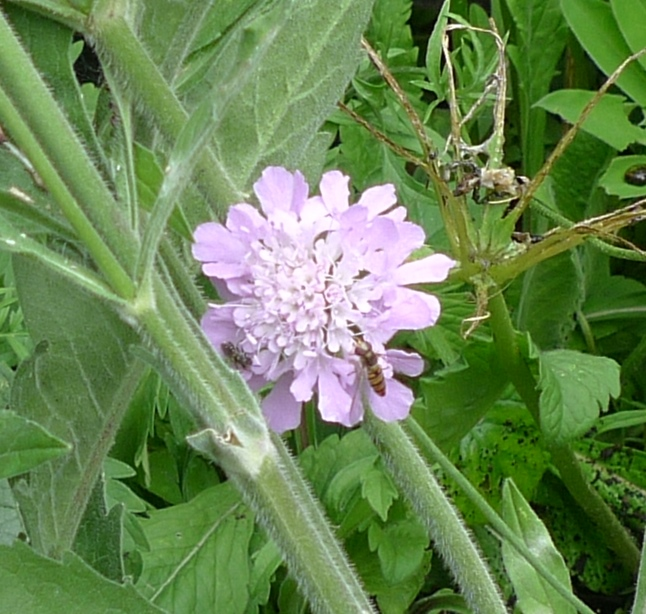 scabious with hoverflies