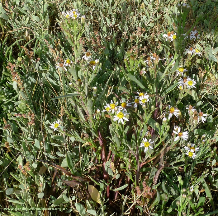 sea aster and sea purslane