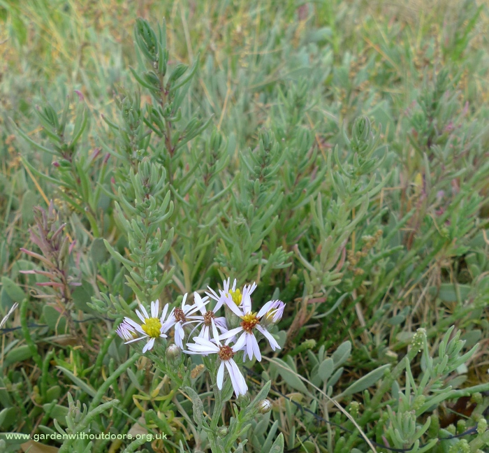 sea aster and seablite