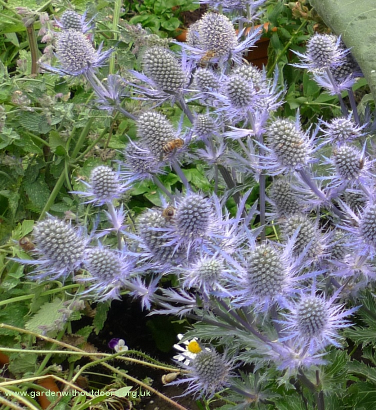 sea holly with bees