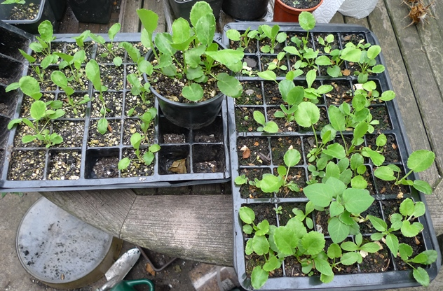 sea holly seedlings