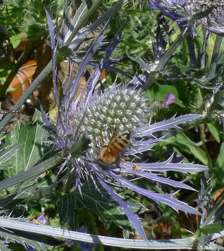 sea holly with bee