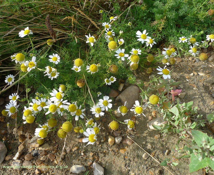 sea mayweed and frosted orache