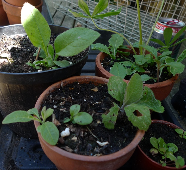 green alkanet seedlings