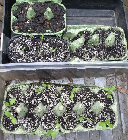 echium seedlings