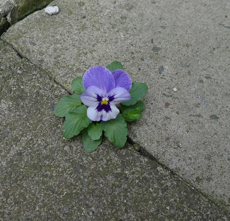 self-seeded pansy