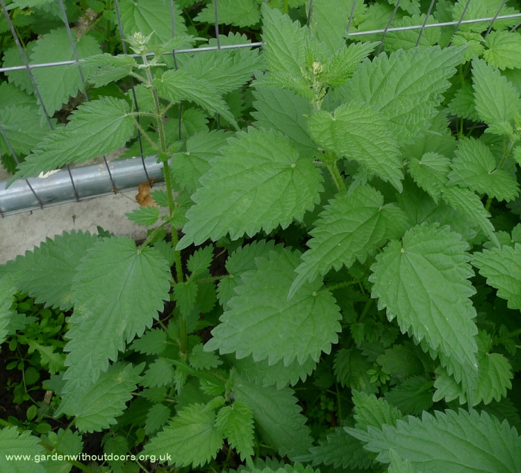 stinging nettle huge leaves