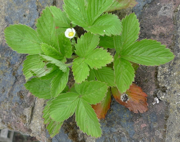 strawberry self-seeded wall