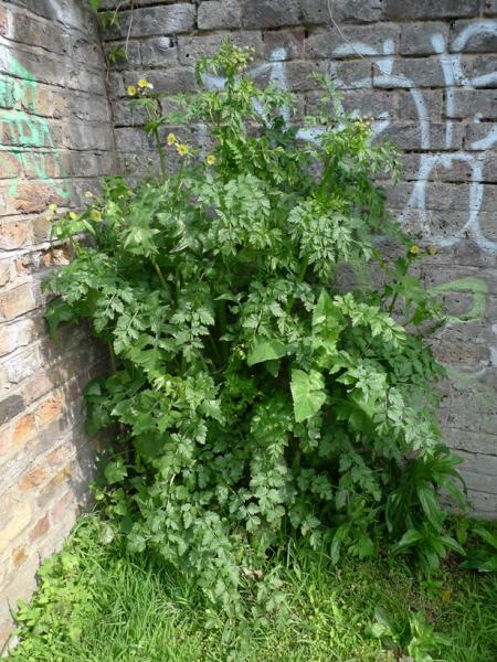Frankenstein weed, smooth sow thistle and hemlock, along Regents Canal