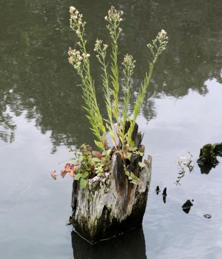 horseweed  growing in Regent's Canal September 2013