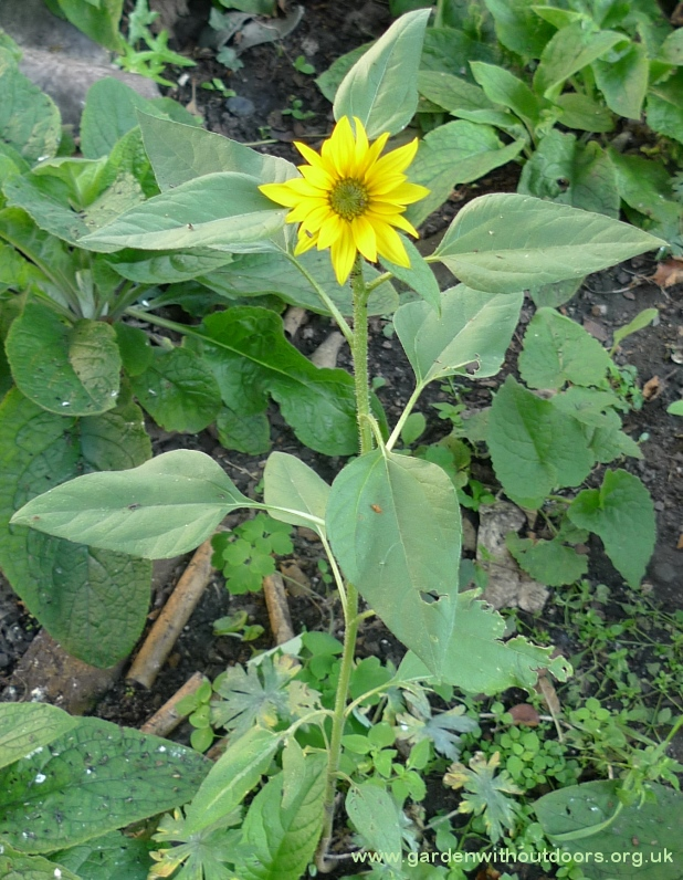 sunflower from birdseed