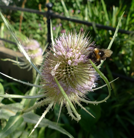 teasel with bee