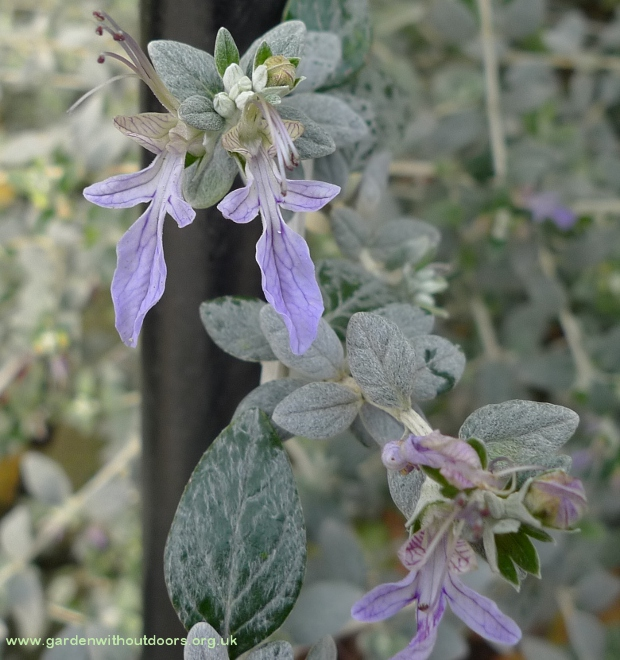 teucrium fruticans tree germander
