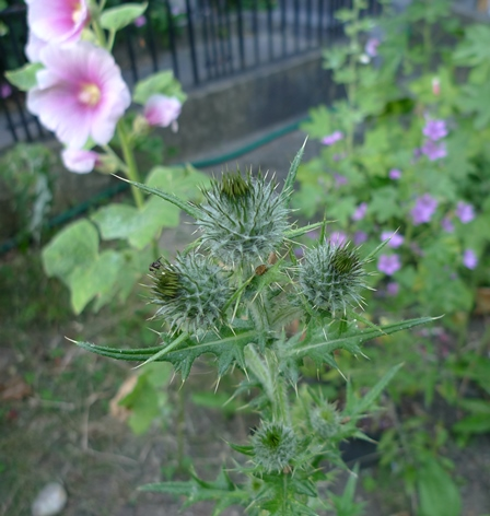 spear thistle flower buds