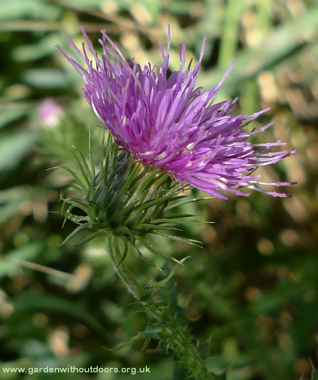 thistle flower close-up