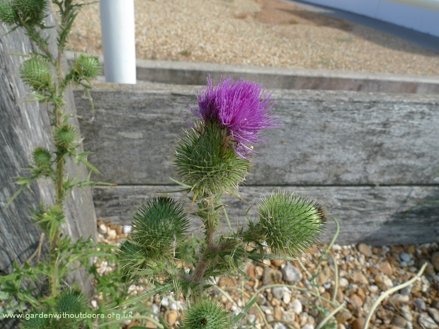 thistle on beach