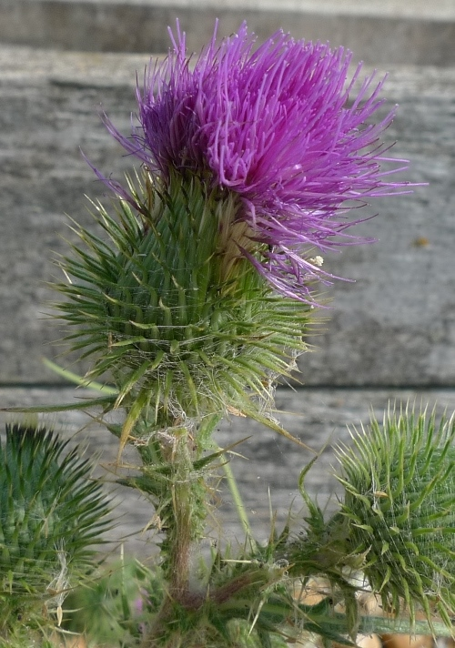 seaside thistle